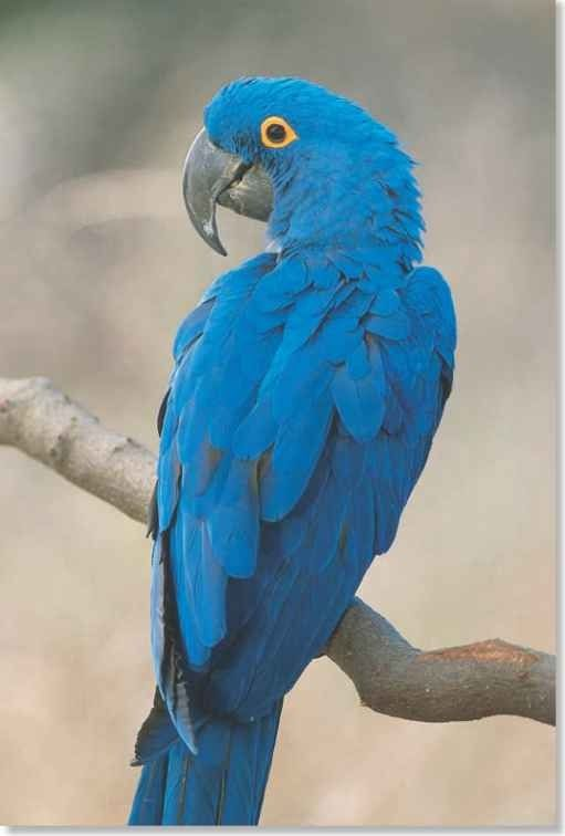the hyacinth macaw is a parrot native to south america and