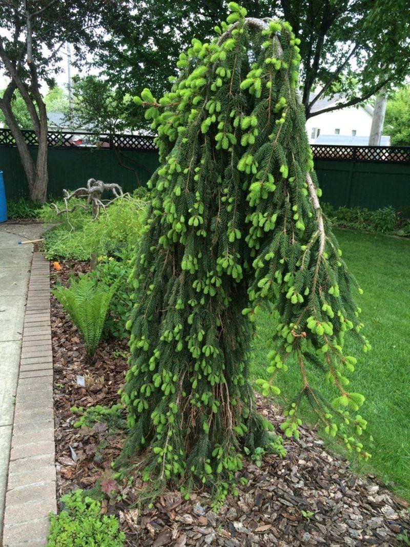 Immergrüne Bäume Für Den Garten Für Serious Decor Inspiration Von
