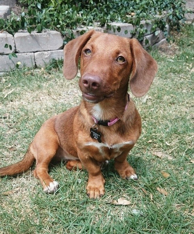 Dachshund dog for Adoption in Pearland, TX. ADN547895 on
