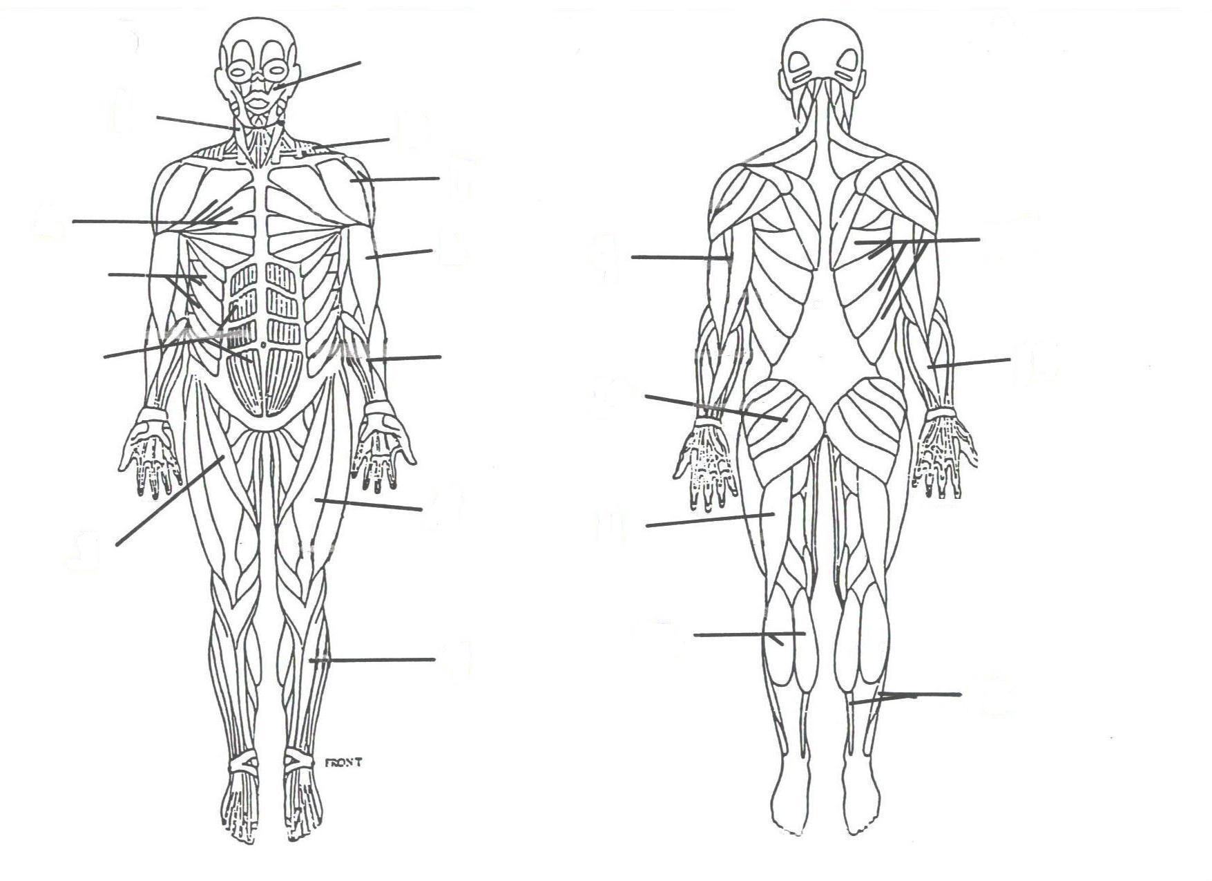 unlabeled muscular system front and back auto electrical