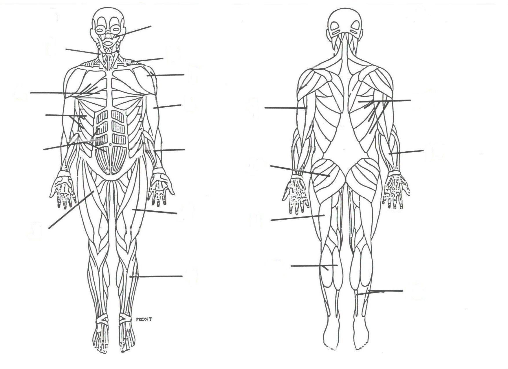 medium resolution of muscular system diagram labeled for kids muscular system diagram labeled for kids muscular system diagram