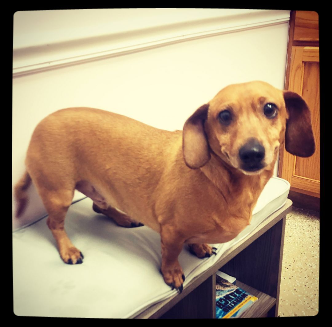 Adopt Olaf On Long Haired Dachshund Dachshund Wags Whiskers