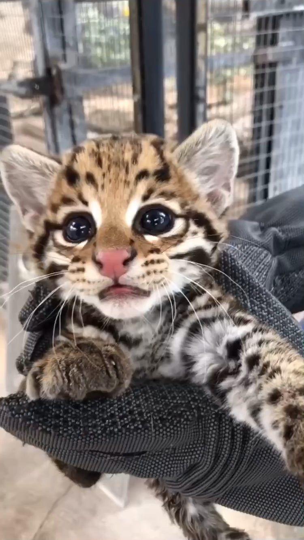 Ocelot Kitten At The Cincinnati Zoo Aww Cute Funny Animals Cute Animals Cute Baby Animals