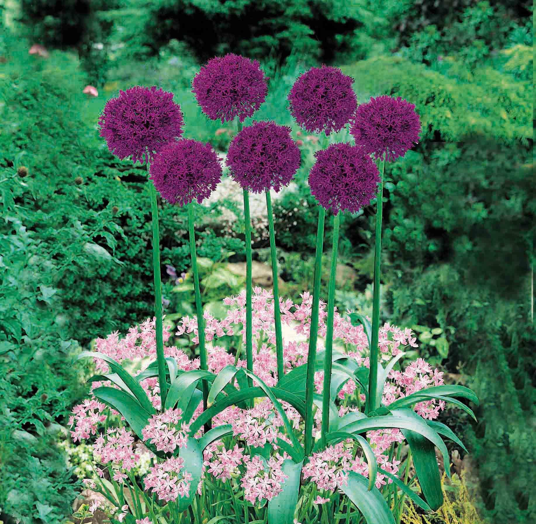 Allium Purple flowers garden, Spring garden flowers
