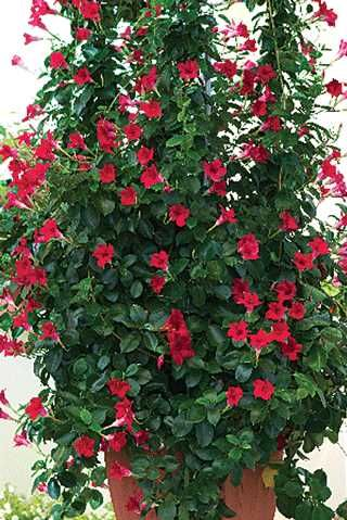 Crimson Climbing Rose On A Trellis Paul S Scarlet Climber