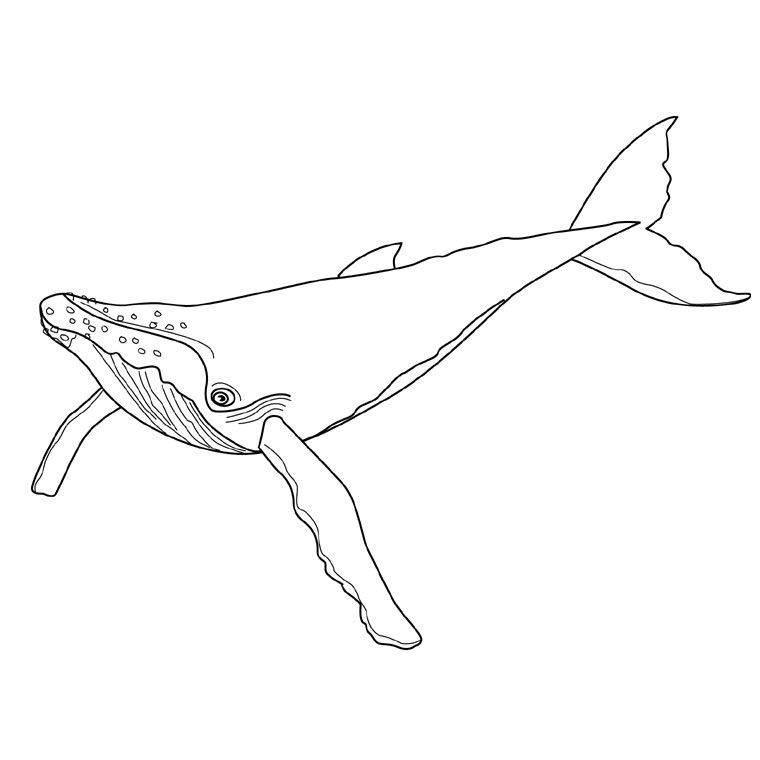 Coloriage baleines a imprimer 2 whale coloring pages whale drawing et watercolor - Baleine dessin ...