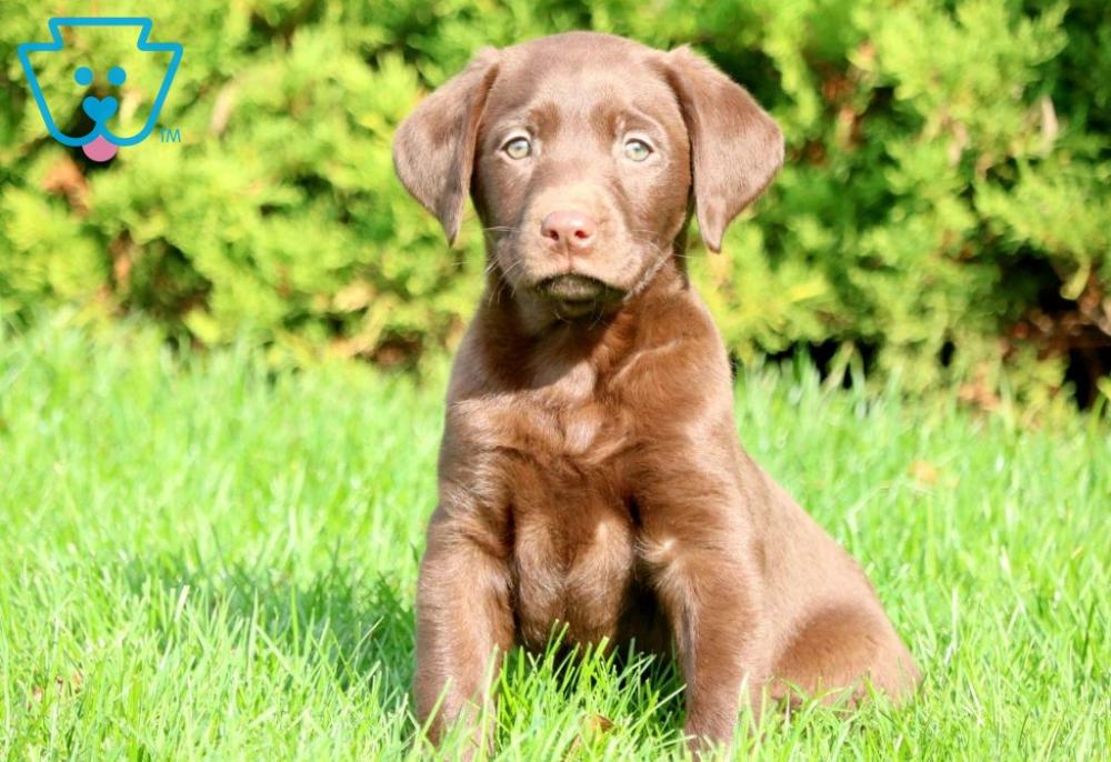 Ella Labrador retriever, Puppies for sale, Lab puppies