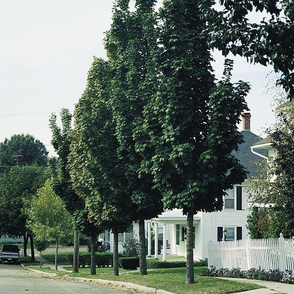 Small Ornamental Trees For Kansas: Acer Platanoides 'Columnare'
