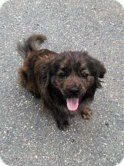 Sauk Rapids Mn Boykin Spaniel Pomeranian Mix Meet Pojo A Dog For Adoption