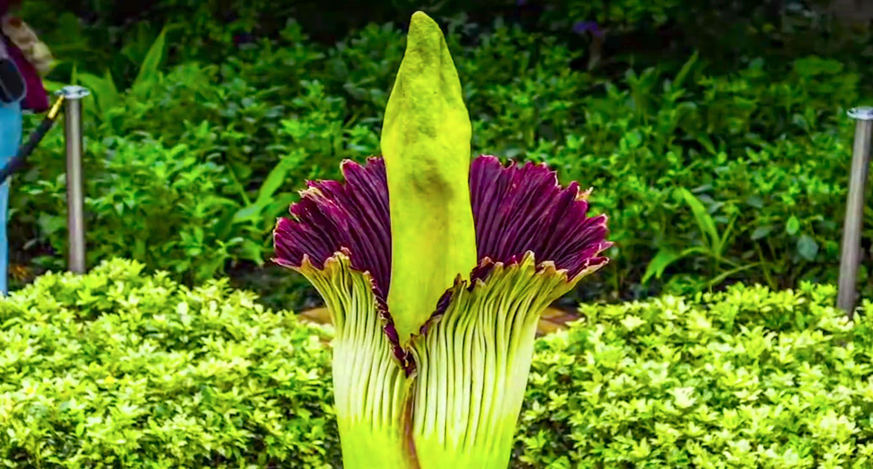 Corpse Flower Timelapse Video Chicago Botanic Garden Corpse Flower Chicago Botanic Garden Rare Flowers