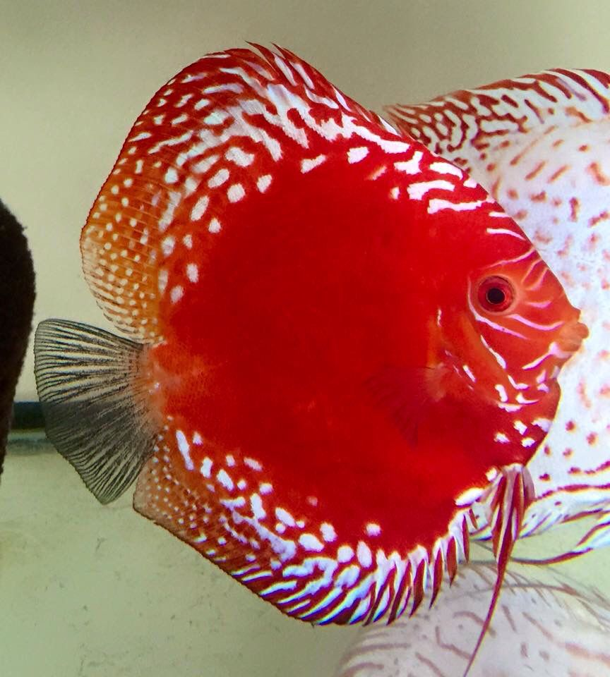 How I do love to wear lace! | Aquarium Fish | Pinterest | Discus ...