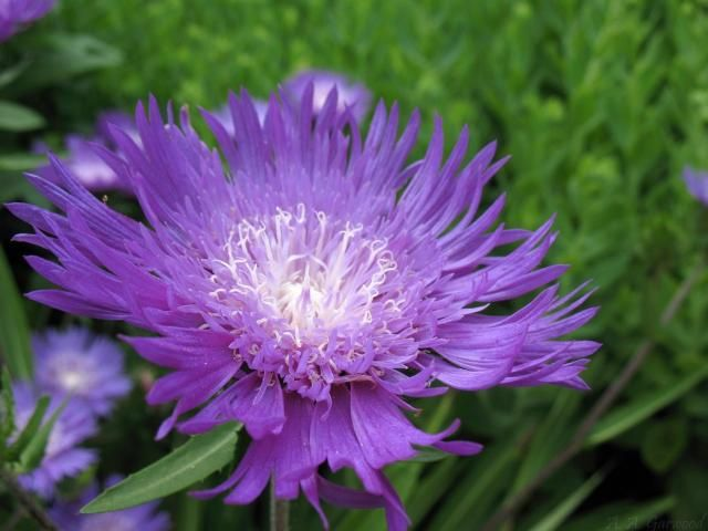 Types of purple flowers big purple flower with white center ided types of purple flowers big purple flower with white center ided as stokes mightylinksfo Images