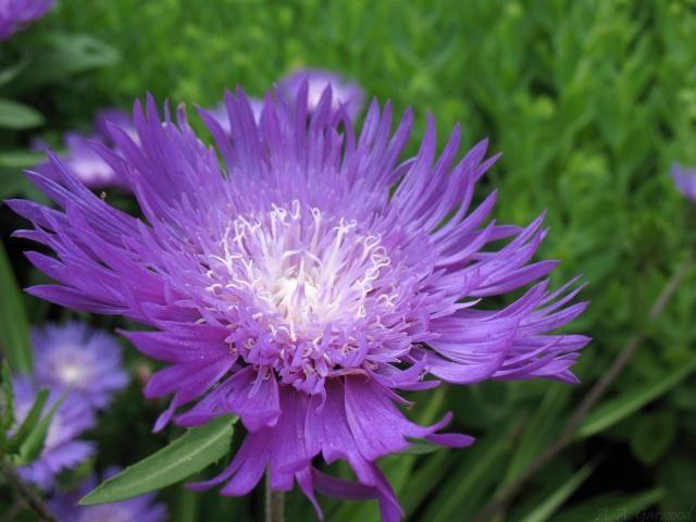 Types of purple flowers big purple flower with white center ided types of purple flowers big purple flower with white center ided as stokes aster aka stokesia mightylinksfo