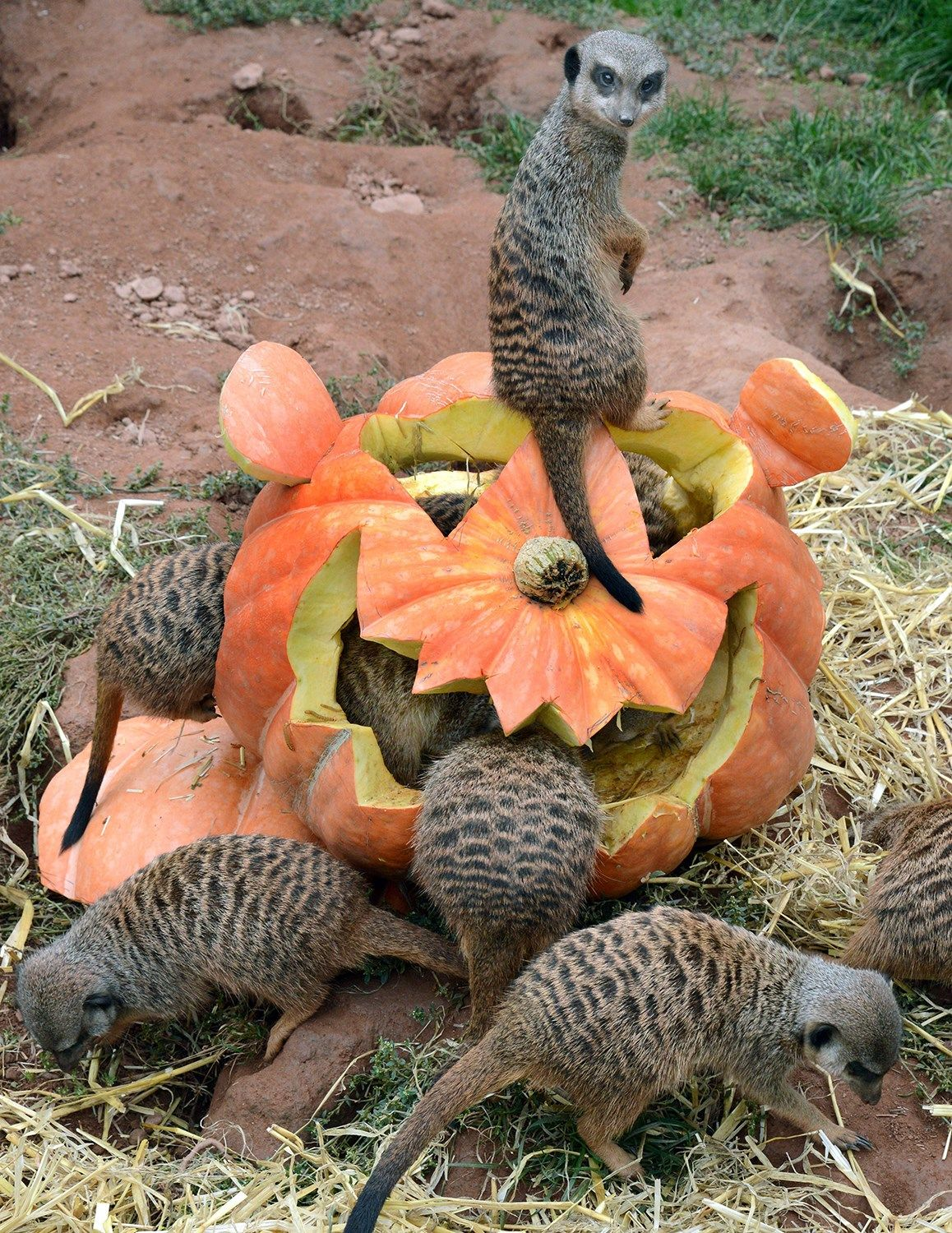 Oh my gourd! Adorable zoo animals play with Halloween