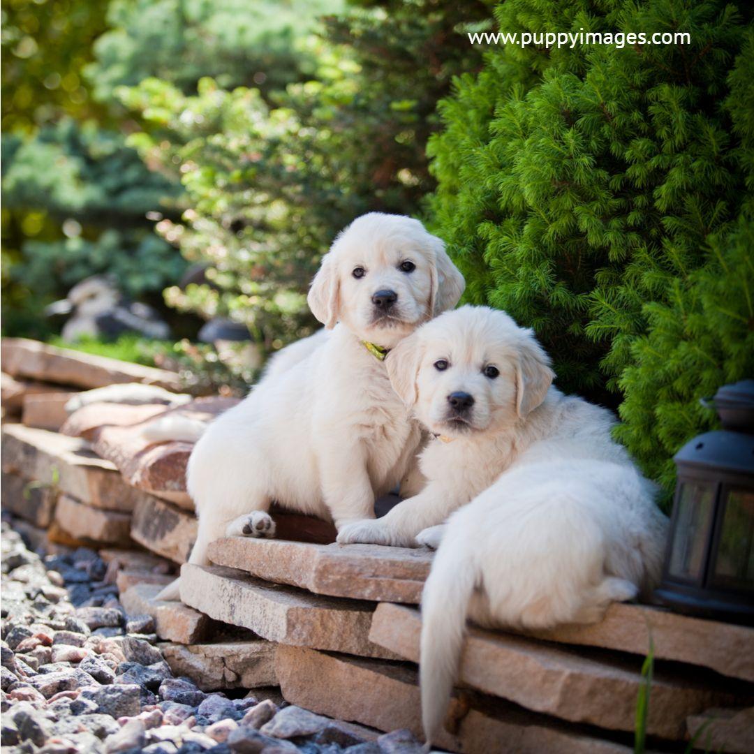 Golden Retriever Puppies Retriever Puppy Retriever Golden Retriever