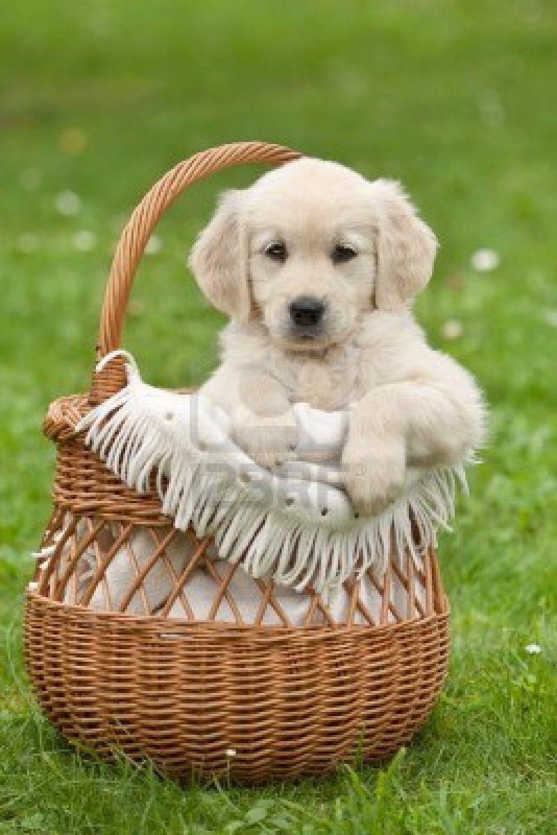 Stock Photo Retriever Puppy Puppies Puppy Care