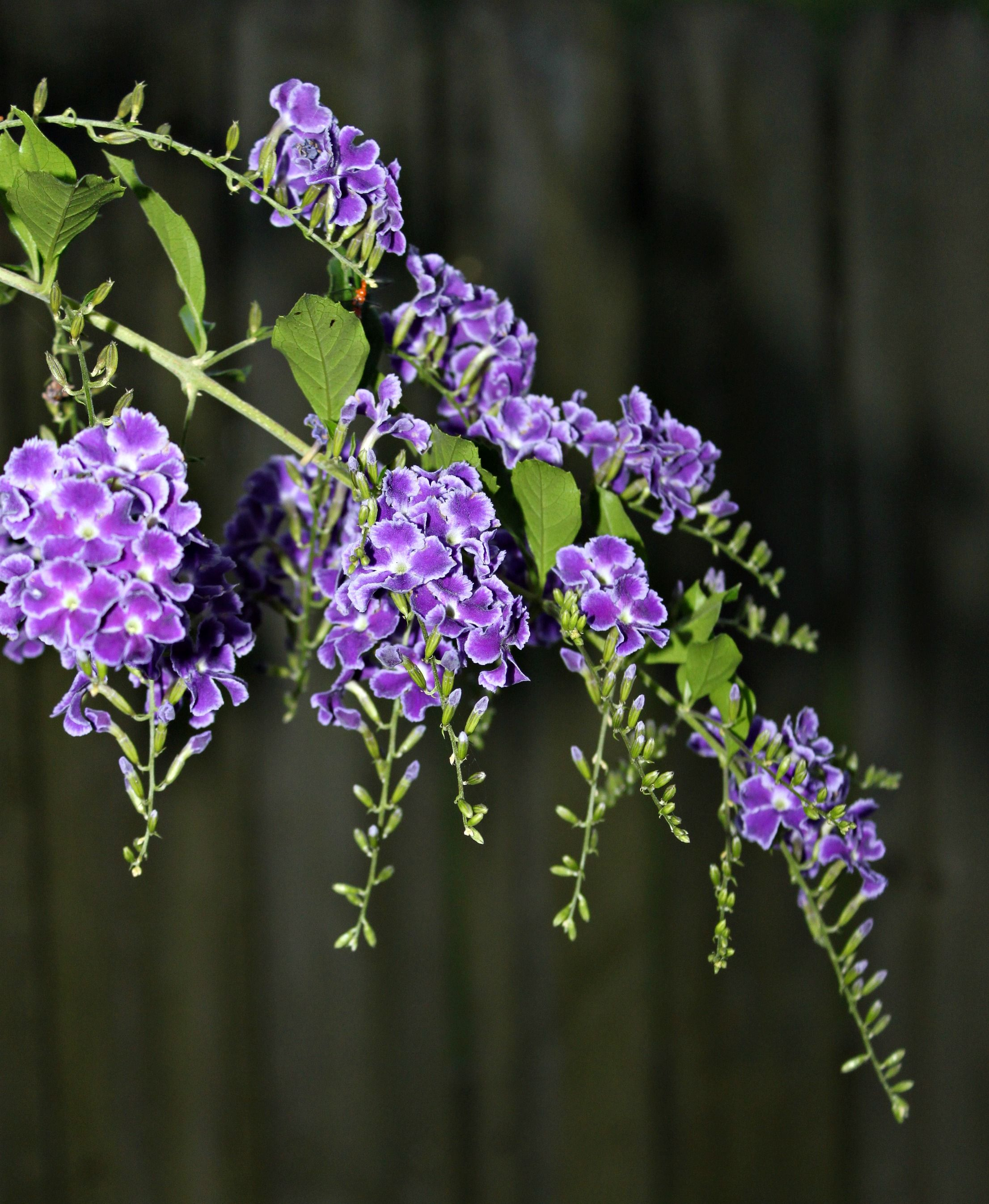 Shrubs with purple flowers at end of branch - Duranta Golden Dewdrop Skyflower This Bush Has Clusters Of Lovely Purple Blooms Followed By
