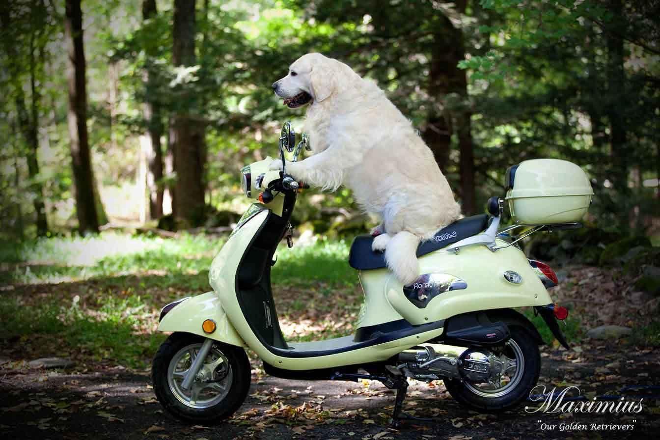 White Golden Retriever Puppies Ct Akc Certified Holistic Nj Md Ma Pa De Ny Ca Az Tx Fl Ri O Retriever Puppy Golden Retriever White White Golden Retriever Puppy