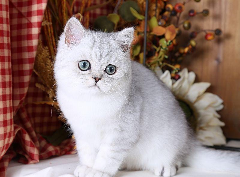 Silver Chinchilla Exotic Shorthair Persian Kitten | Cuddly ...