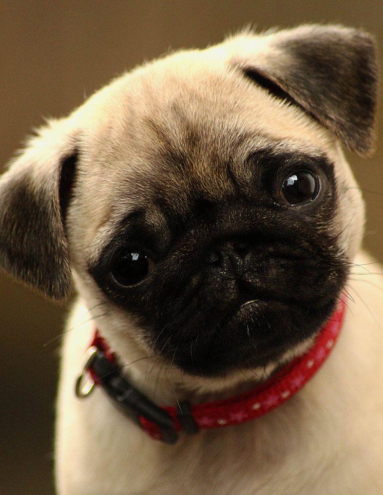 Cute Pug Puppy PUGS Pinterest