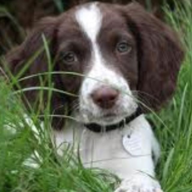 Is This Your Dog Princeton Brittany Spaniel Dog Male Date Found 06 14 2019 Breed Of Dog Brittany Spaniel Dog Gender Male Closest In Brittany Spaniel Dogs