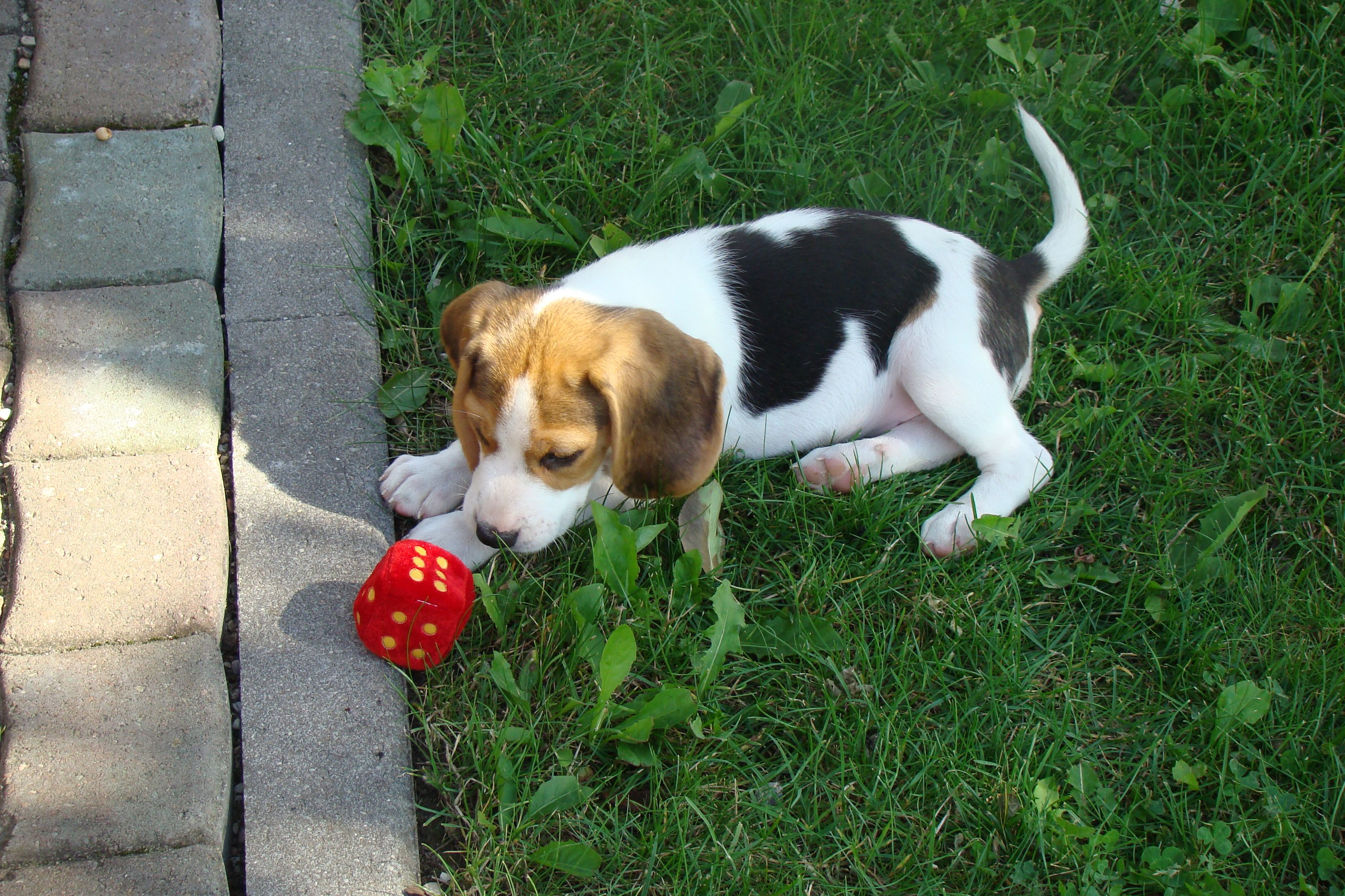 2 month old beagle puppy!