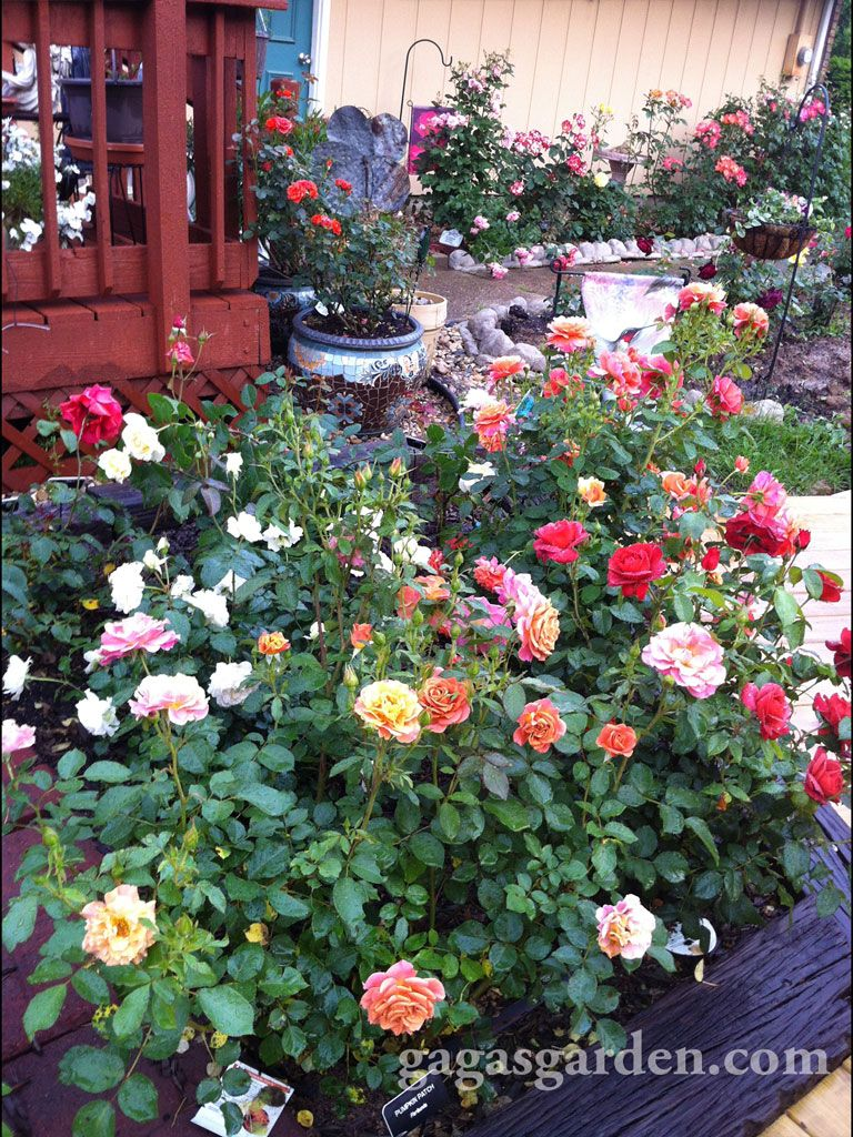 N elevated rose garden on an evening gardenwalk flowers board