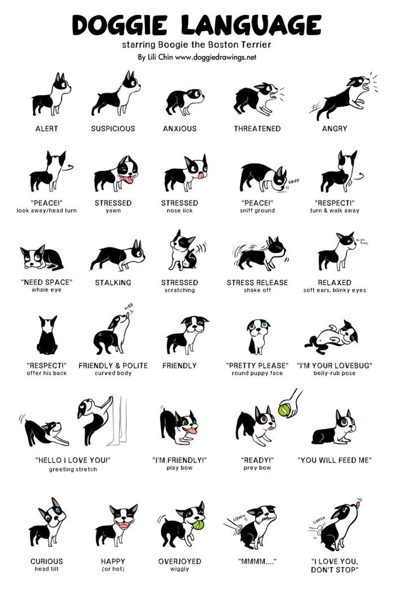 Boogie (boston terrier) Doggie Language Print