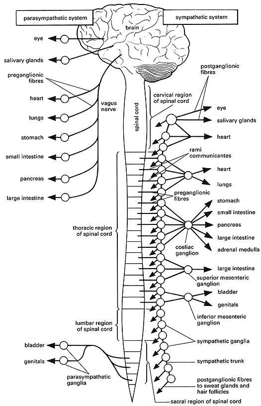 autonomic nervous system coloring page