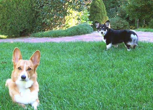 Ed And Bridey Of New Hampshire Corgi Corgi Dog Cute Animals