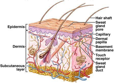 Pin On Anatomy Integumentary System