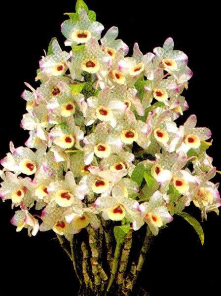 Dendrobium Nobile Hagoromo Spring Fuji Dendrobium Nobile Dendrobium Orchids Care Dendrobium Orchids