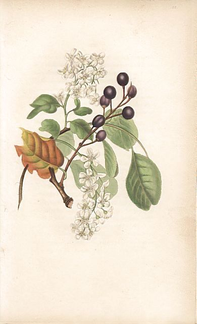 """Bird cherry with flowers and fruit and dried autumn leaf, Prunus padus. Handcoloured botanical illustration drawn from nature by Mrs. Rebecca Hey from her own """"Spirit of the Woods,"""" London, Longman, Rees, 1837."""