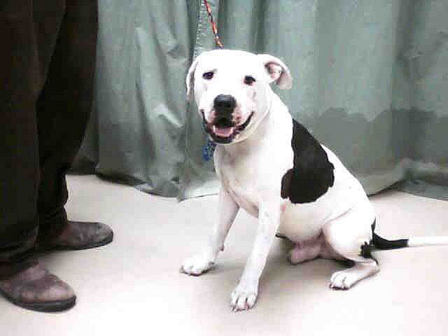 Black And White Apbt American Pitbull American Pitbull Terrier Black And White Dog