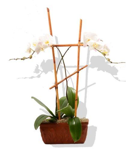 Double Orchid Plant Orchid Plants Plants Orchids