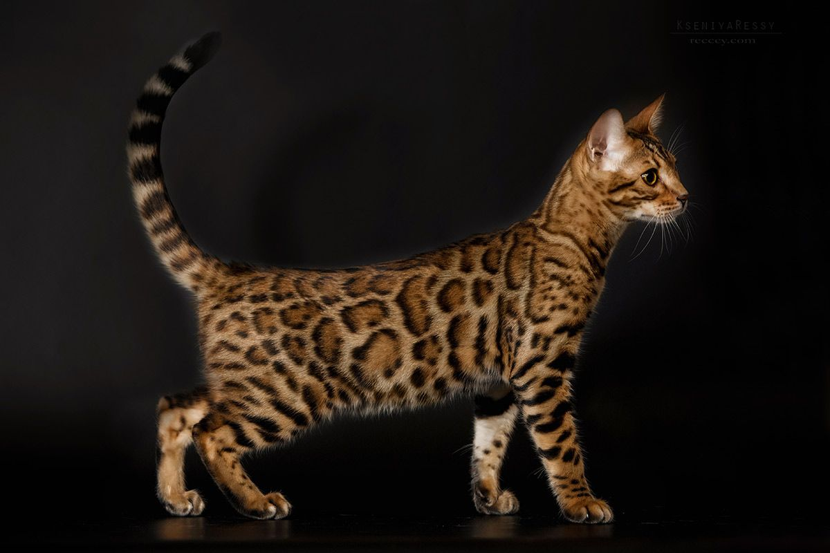 Available for sale fantastically beautiful bengal male kitten Anteros (as a pet), 4 mounth HCM parents - free, parents Fiv and Felv - negative