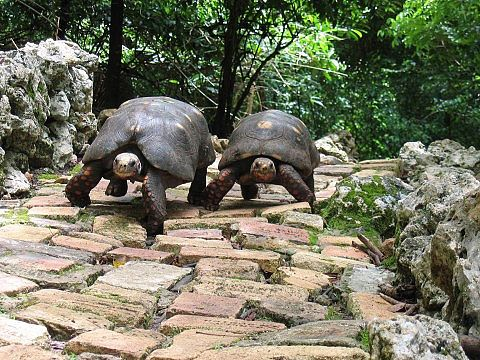 Red Footed Tortoises Love How They Walk With Shell Not Touching カメ かめ