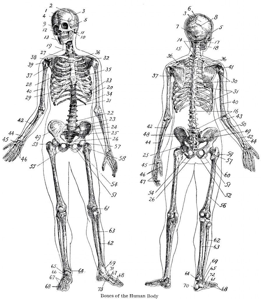 vintage anatomy skeleton images