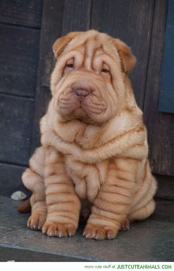 Wrinkly Pup Omg Not Enough Hearts Cute Animals Puppies