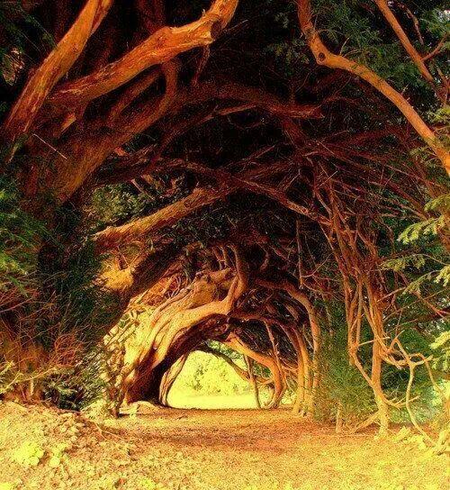 Tree Tunnel in West Wales