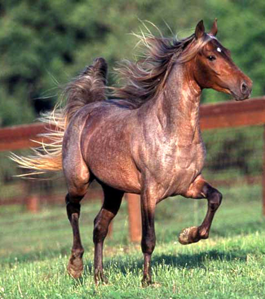 bay roan silver dapple
