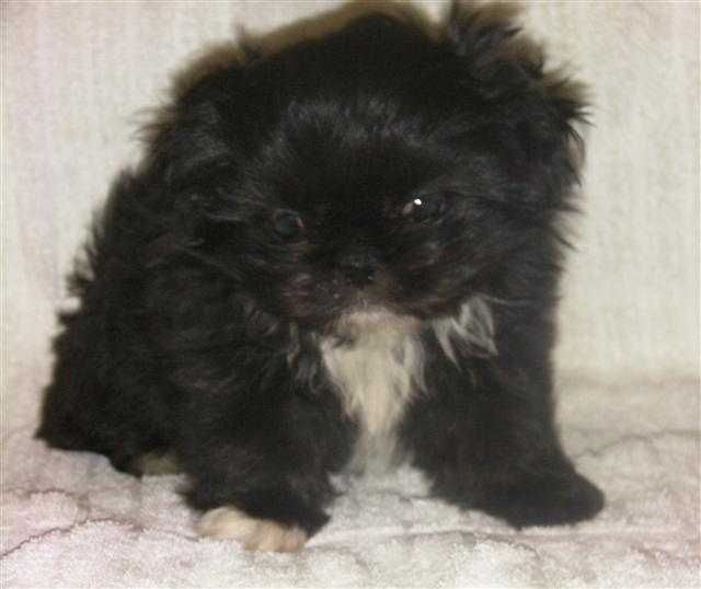 Pekapoo Peek A Poo Puppy Full Size Pictures Peek A Poo Puppies Cute Animals