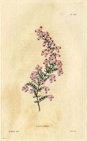 "////////    Erica Ovata drawn by William Miller from ""The Botanical Cabinet"" (London 1817-1833)"