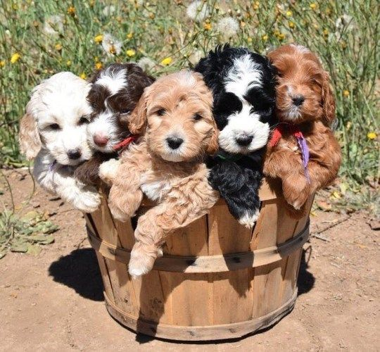 Pine Lodge Labradoodles Australian Labradoodle Tommy Labradoodle Puppy Australian Labradoodle Puppies Cute Dogs And Puppies