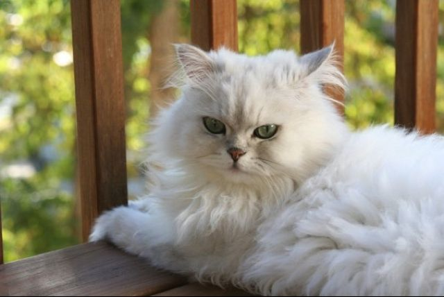 Persian Cat Gorgeous Cats Pretty Cats Cats