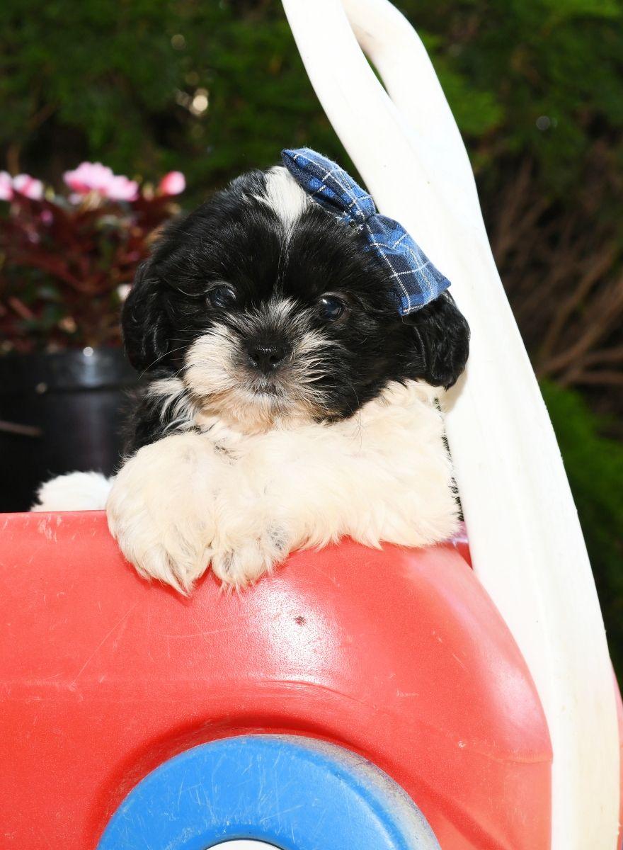 Puppies For Sale Shih Tzu Puppy Cute Puppy Pictures Dog Breeder