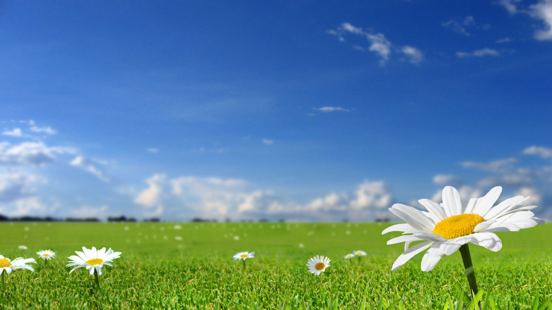 Beautiful white flowers in fields with blue sky background 1523477 ...