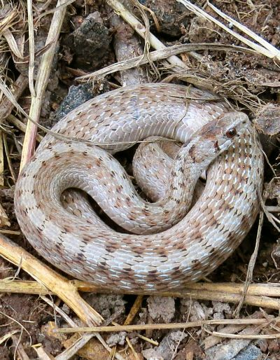 Midland Brown Snake Garden Asset With Images Snake Small