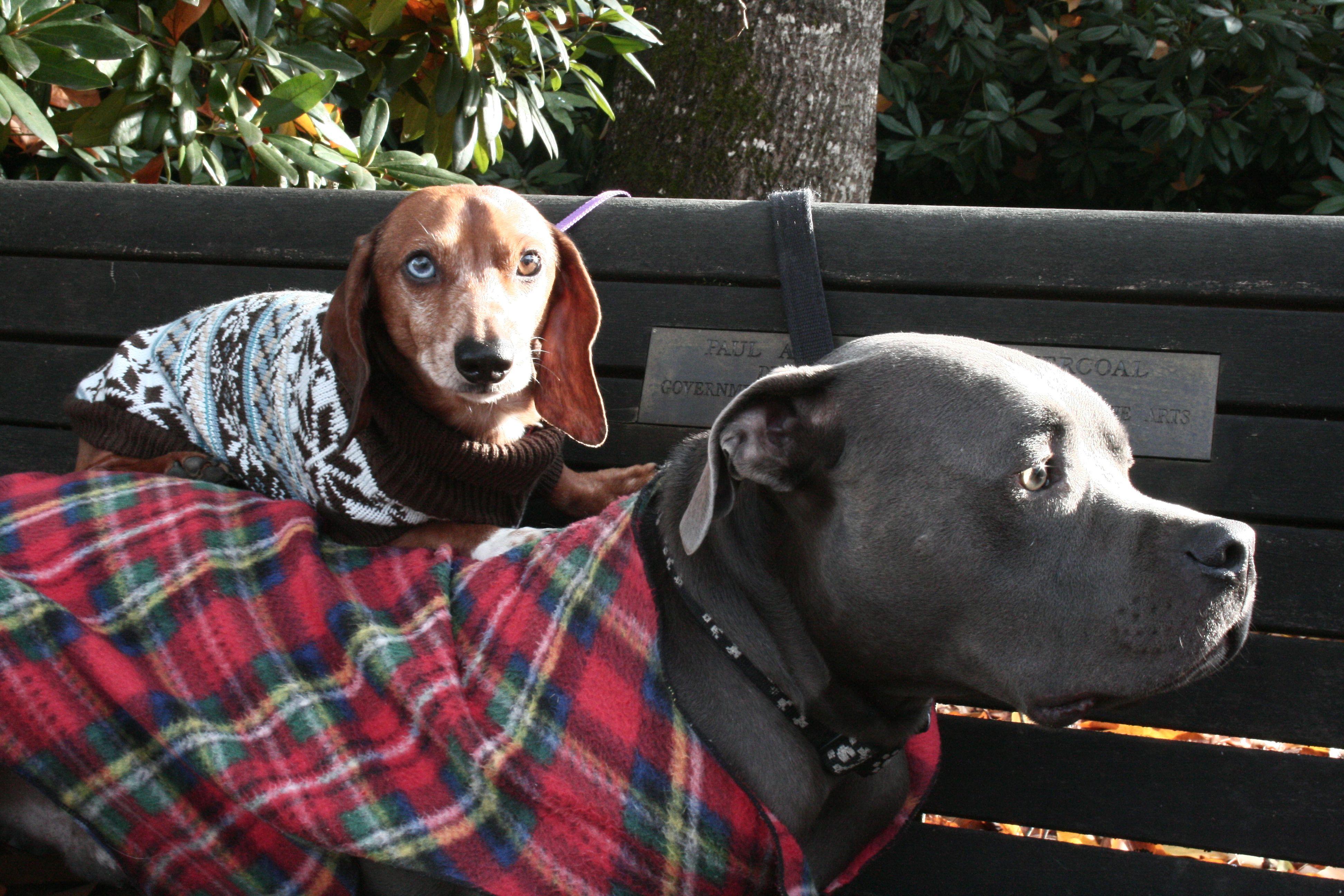 Pitbull And Wiener Dog Best Friends Dog Best Friend Blue Pitbull Pet Clothes