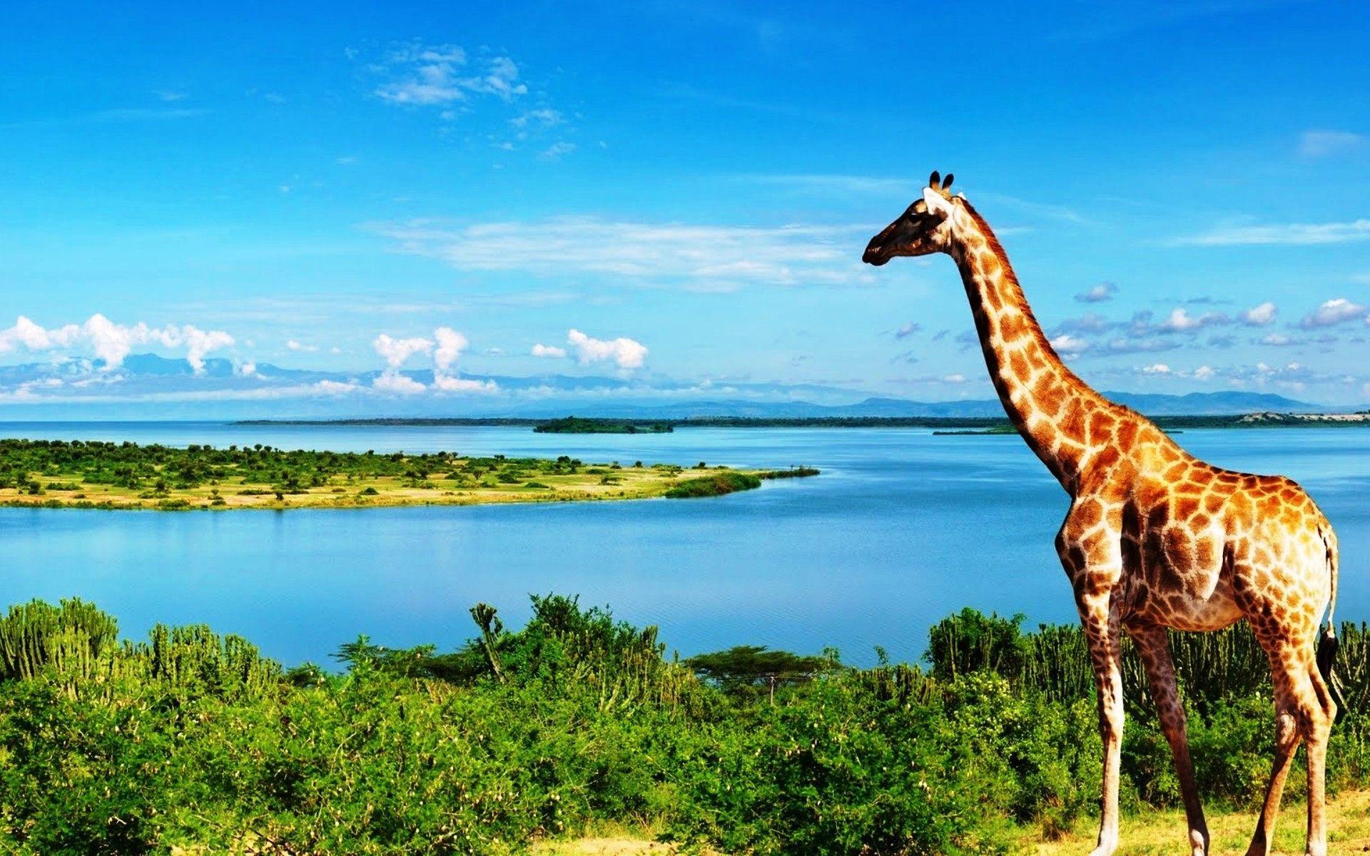 Картинка с жирафом в воде, добрым утром отпускница
